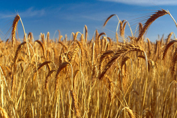 Heads of wheat with blue sky background