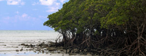 Mangroves growing on a sandy shoreline