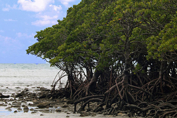 Mangroves growing on a sandy shoreline