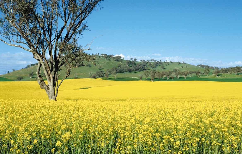 Yellow flowering pastures.