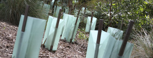 Newly planted trees in a revegetation area