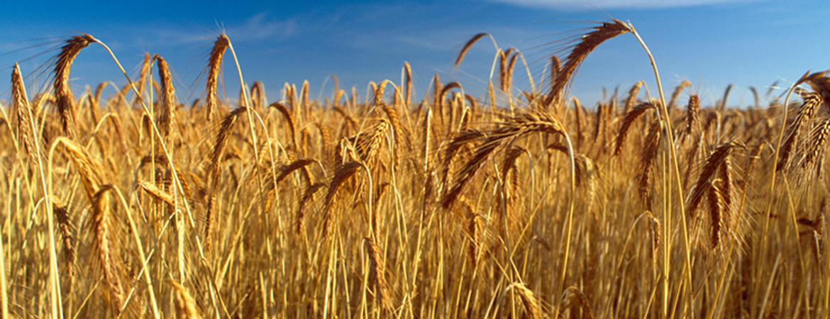 Wheat crop ready to harvest