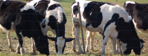 Four cows grazing along a wire fence line