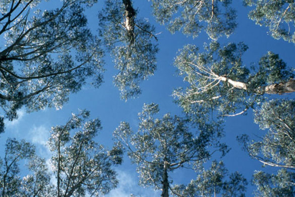 Looking up through a tree canopy