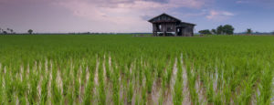 A rice paddy with an elevated wooden building in the middle