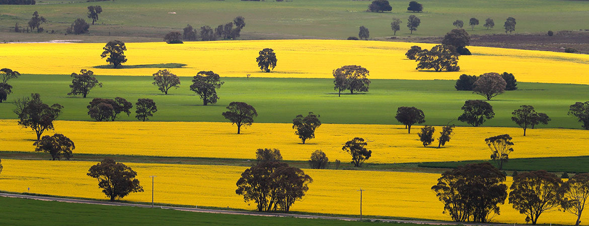 Aerial view of canola fields