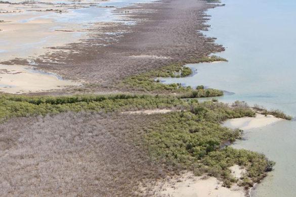Aerial view of mangrove dieback in the Gulf of Carpentaria