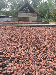 Cocoa beans drying at a planation in the Guadalcanal plain