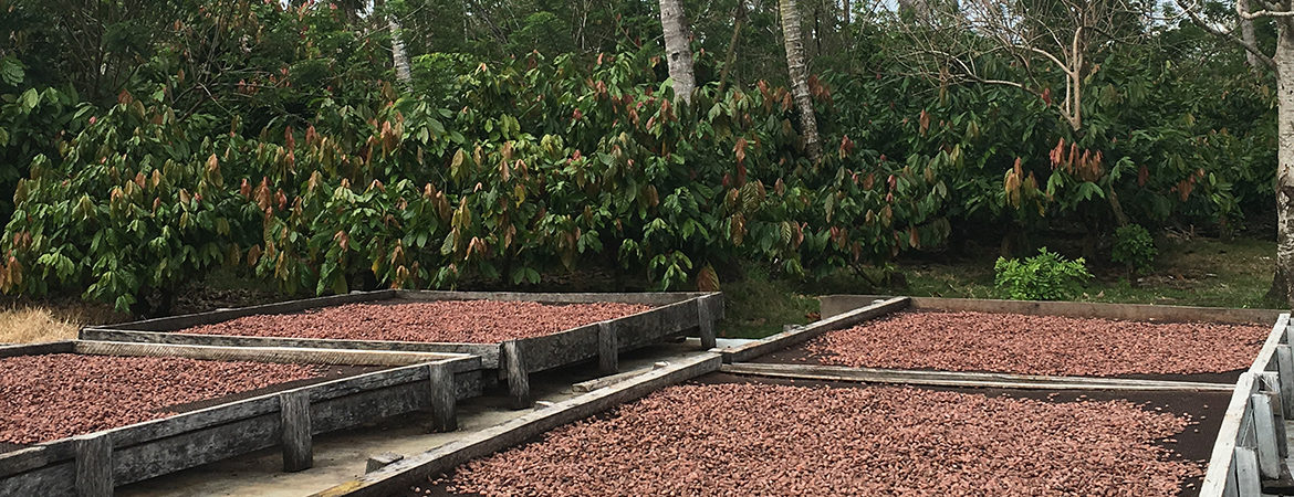Cocoa beans drying on outdoor racks