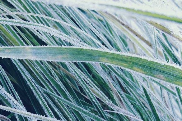 Frost on grass blades