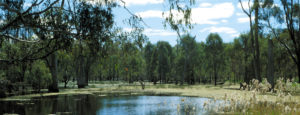 Gum trees in a wetland