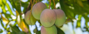 Five ripening mangoes hanging on a tree