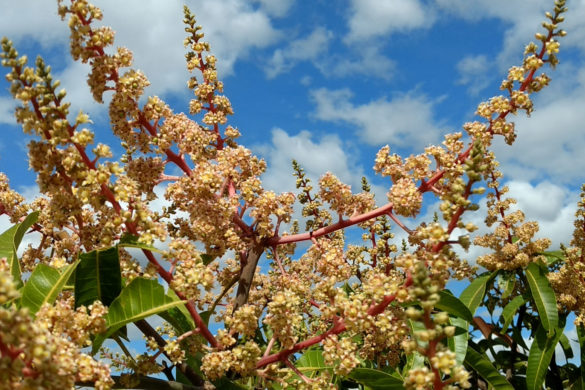 Mango flowers in front of a cloudy sky